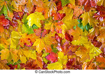 Colorful fall leaves