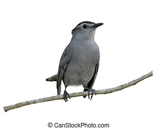 Gray Catbird Perching on a branch isolated on white...