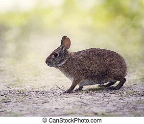 Marsh Rabbit in wetlands - Marsh Rabbit in Florida wetlands
