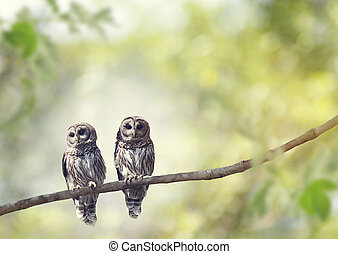 Young Barred Owls - Two Young Barred Owls perch on a tree