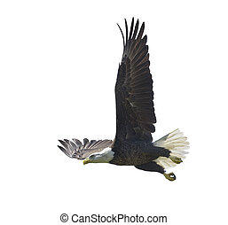 American Bald Eagle isolated on white background