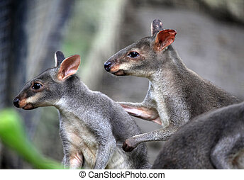 Two kangaroos in zoo Bali. Indonesia