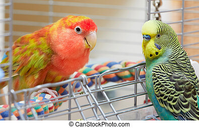 Budgie and lovebird parrots - Cute rosy-faced lovebird...