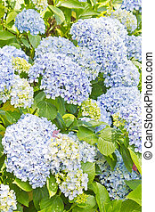 Colored Hydrangea in Lago Negro Park, Gramado, Brazil -...