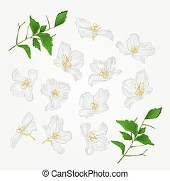 Jasmine flowers set vectoreps - Jasmine flowers with twigs...