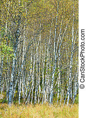 Birch trees forest in Poland in September