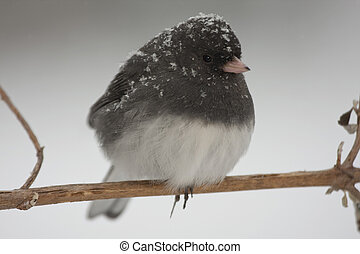 Snow Bird - a bird coverd in fresh snow