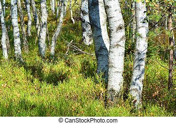 Birch trees forest - Birch trees autumn forest