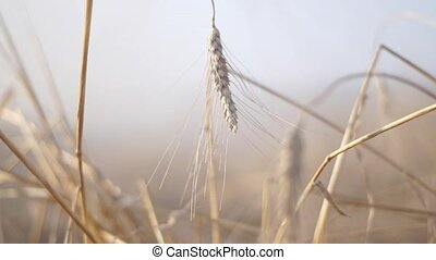 Wheat closeup, full hd - Strength gives us the mother earth