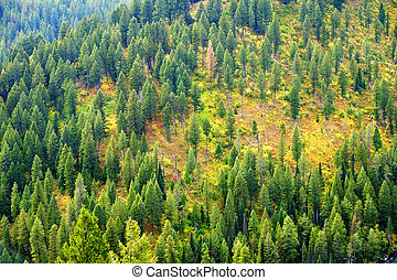 Forest of Pine Trees in Autumn