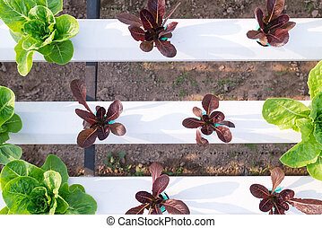 Vegetable salad planted hydroponic vegetable in house plant...