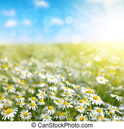 Field of marguerites in sunny day. Nature background.