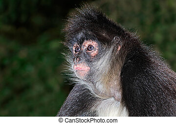 Spider monkey portrait - Portrait of a spider monkey (Ateles...