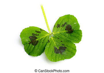 Three leaf clover on a white background