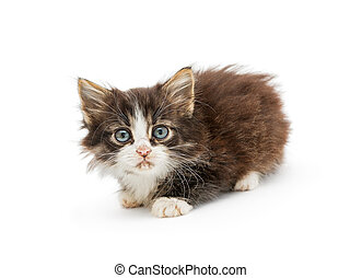 Little fluffy kitten with big blue eyes, isolated on white...
