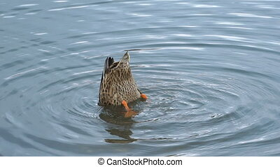 Footage duck swimming on the lake in park. HD video.