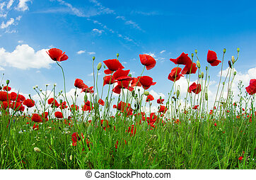 Field of bright red corn poppy flowers in summer