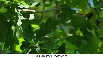 young leaves of oak on wind