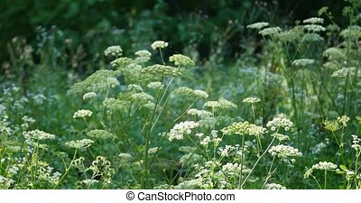 Summer wildflowers Cow Parsley during sunrise.