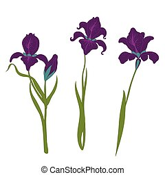 set three irises isolated on white background, modern flat style of an illustration, floral vector