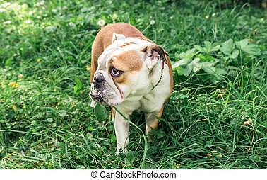 Female English bulldog playing in the grass,selective focus