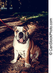 Adult Female English Bulldog - Adult female English bulldog...