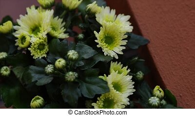 White and yellow mums - White and a yellow mums