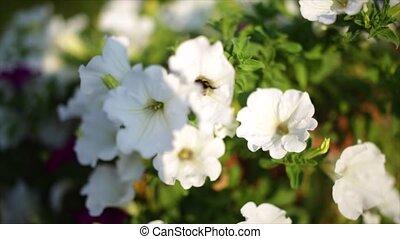 Close-up flowers of white petunias