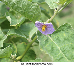 purple eggplant flowers on tree