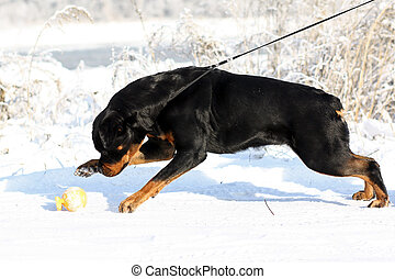 Big strong Rottweiler dog pulls the leash in the winter...
