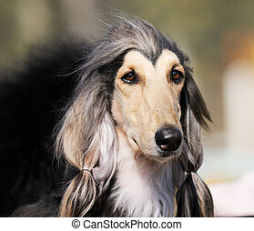 Afghan dog portrait - Pedigree Afghan borzoi dog outdoors...