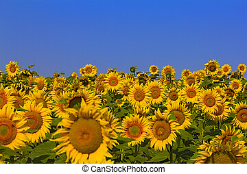 Sunflower field on a sunny day. Background of sunflower. -...