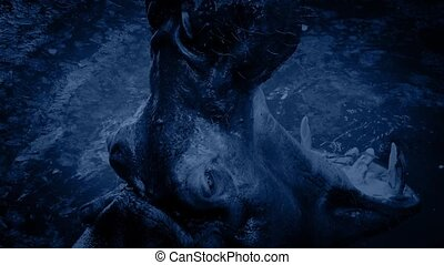 Hippo Roars And Submerges At Night - Large hippo roaring and...