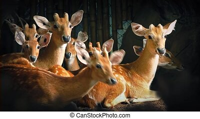 Group Of Deer Look Up - Lots of deer lying down look up at...