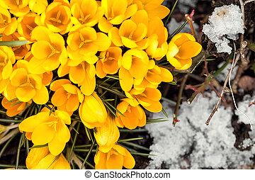 yellow crocus sativus between ice crystals, flat lay,...
