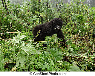 Smal mountain gorilla in the forest - Front view of young...