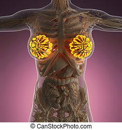 science anatomy of human body with glow mammary gland