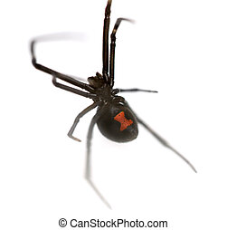 Black Widow - Female Southern Black Widow Latrodectus...