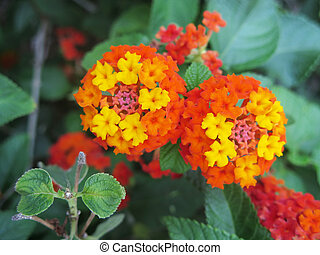 exotica flower - beautiful orange and yellow flowers