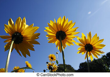 Tall yellow coneflowers from a low angle against a clear...