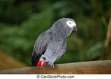 africaine, gris, perroquet
