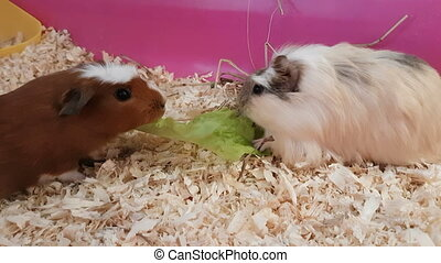 Guinea pigs eating lettuce.