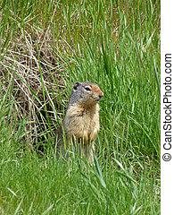 Gopher outside of burrow. - A Gopher stands outside of it\'s...