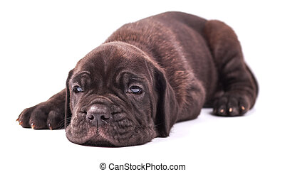 Young puppie italian mastiff cane corso (1 month) lying on...