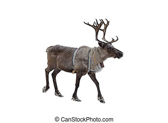Reindeer on a white background - Reindeer isolated on white...