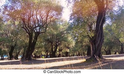 Olive Trees in a Row - Big and Old Olive Trees in the Olive...