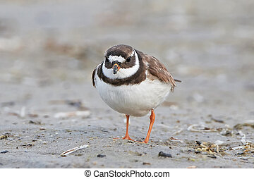 Common ringed plover (Charadrius hiaticula) - Common ringed...