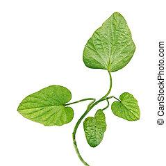 Sweet potato vine isolated on white background