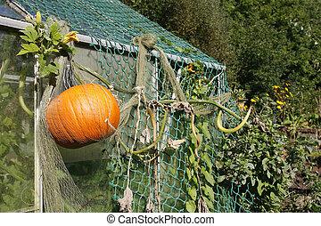 Pumpkin growing in an allotment - Large pumpkin growing on...