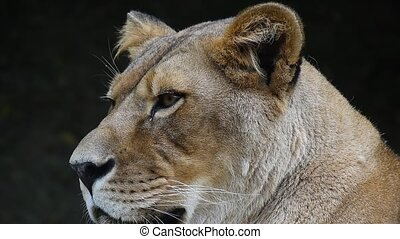 Close up portrait of African lioness, lion female - Close up...